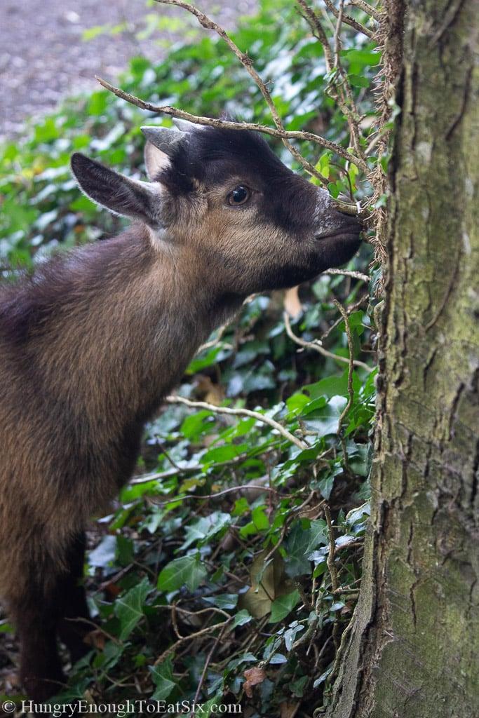 Image of a pygmy goat