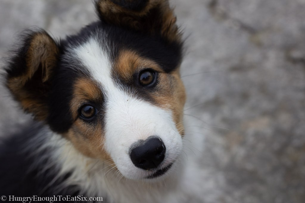White, black and tan puppy