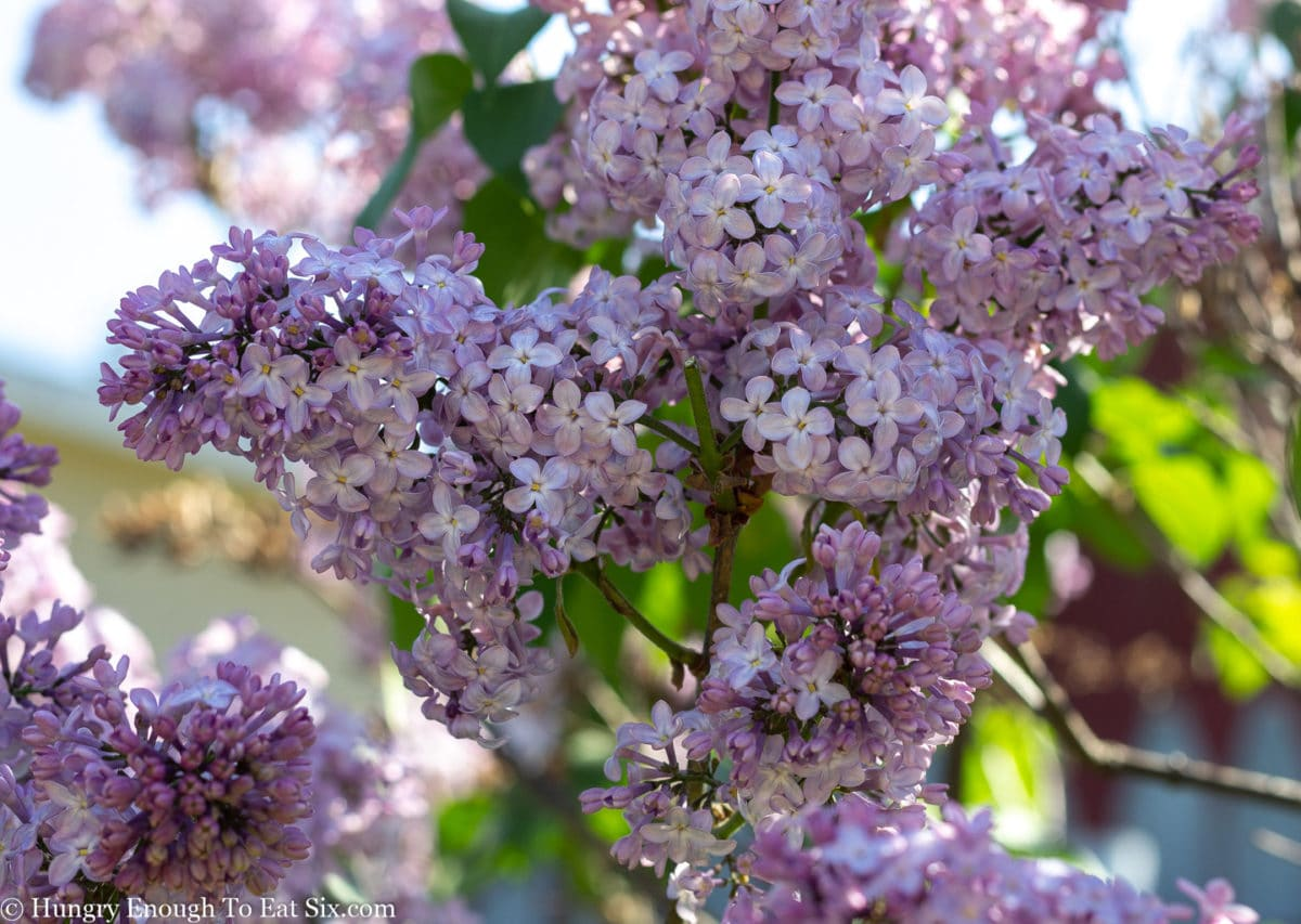Light purple lilac flowers on shrub outside.