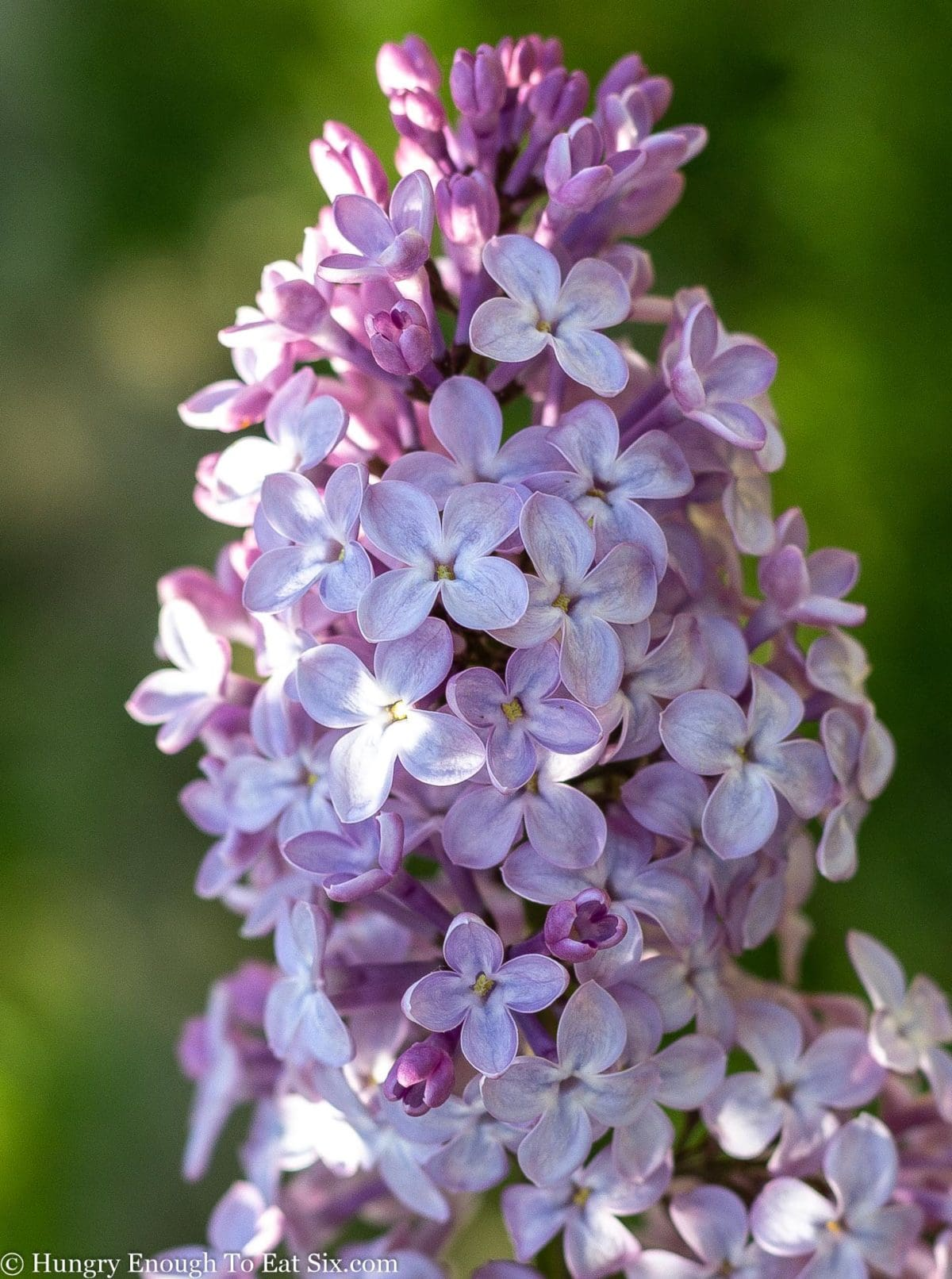 Cluster of light purple lilac blooms on the branch.