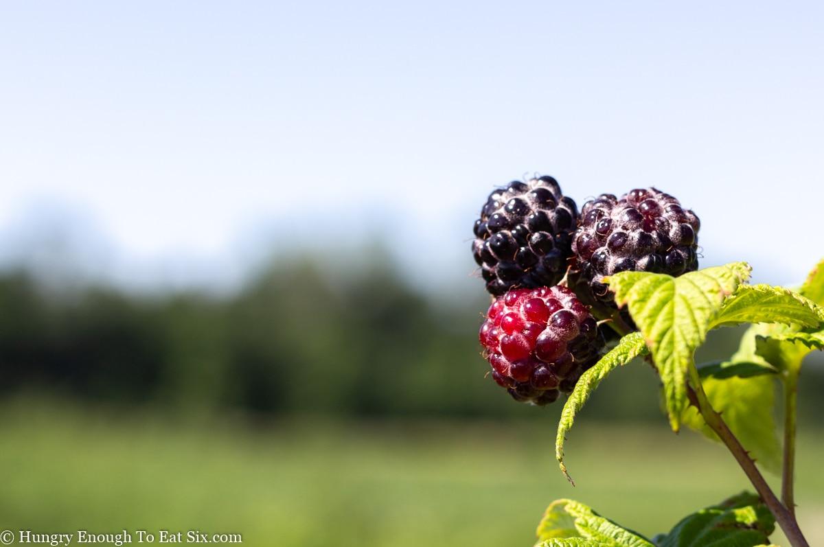 Black raspberries ripening on a stem.